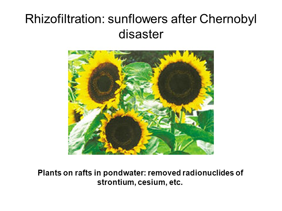 Rhizofiltration: sunflowers after Chernobyl disaster