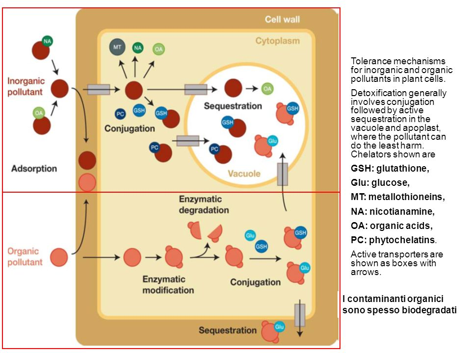 Tolerance mechanisms for inorganic and organic pollutants in plant cells.