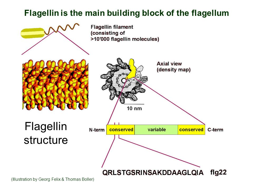 Flagellin is the main building block of the flagellum