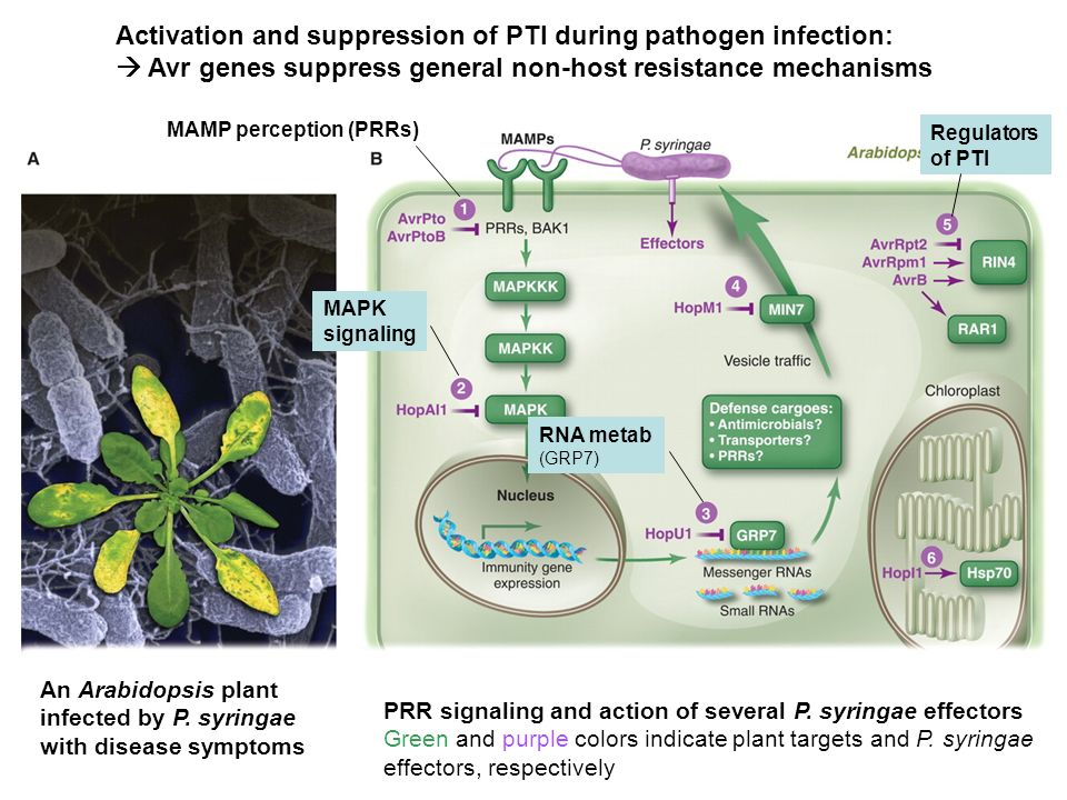 Activation and suppression of PTI during pathogen infection: