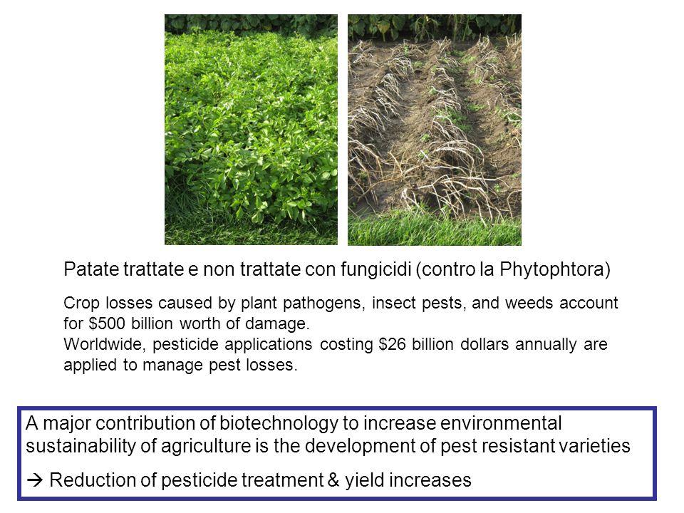 Patate trattate e non trattate con fungicidi (contro la Phytophtora)