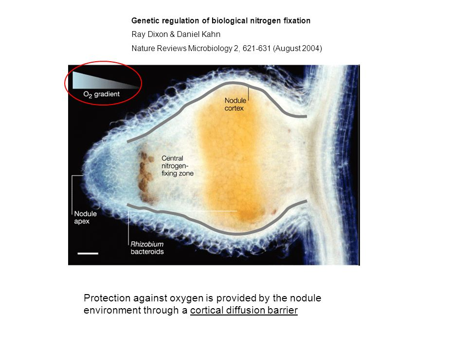 Genetic regulation of biological nitrogen fixation