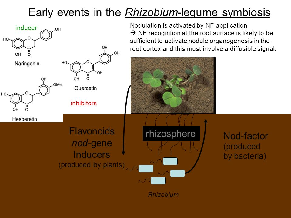 Early events in the Rhizobium-legume symbiosis