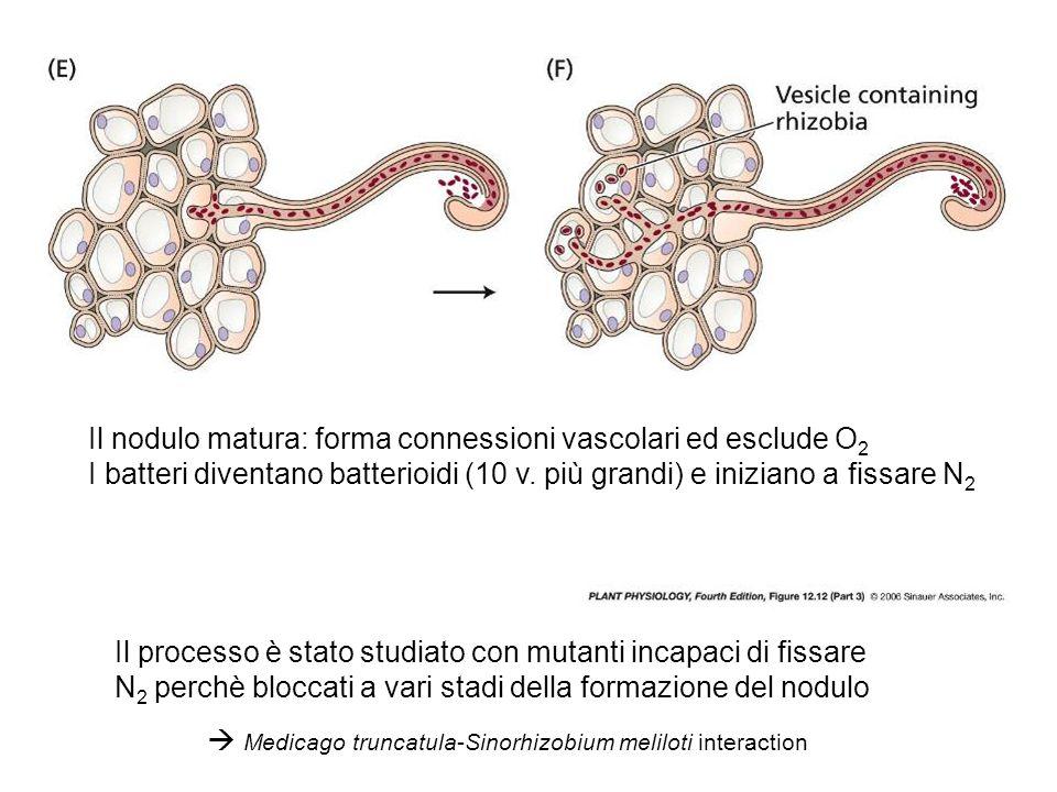  Medicago truncatula-Sinorhizobium meliloti interaction