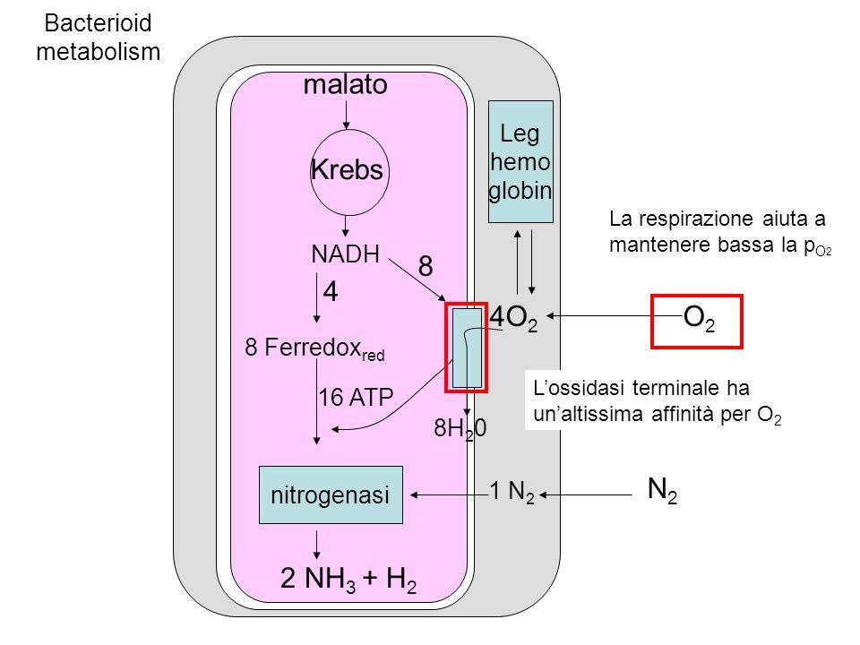 Bacterioid metabolism