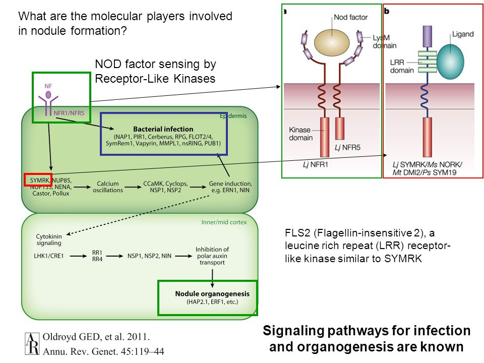 Signaling pathways for infection and organogenesis are known