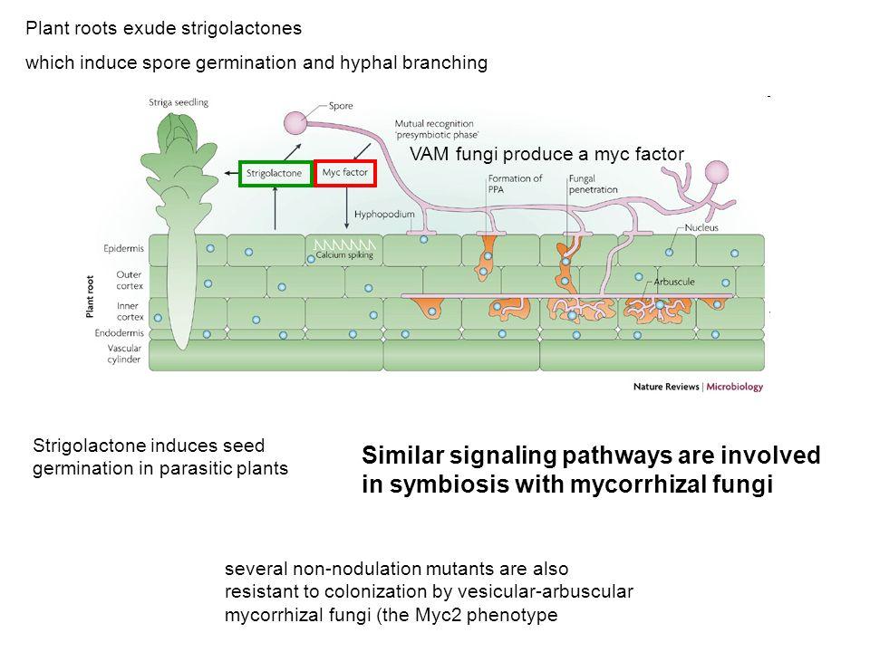 Plant roots exude strigolactones