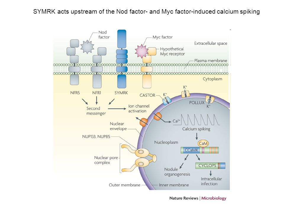 SYMRK acts upstream of the Nod factor- and Myc factor-induced calcium spiking