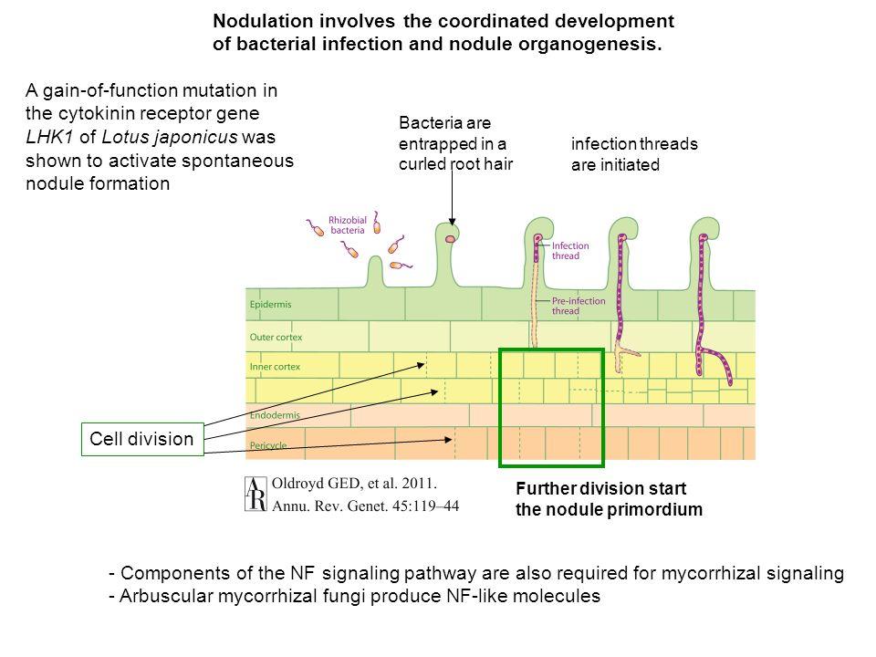 - Arbuscular mycorrhizal fungi produce NF-like molecules