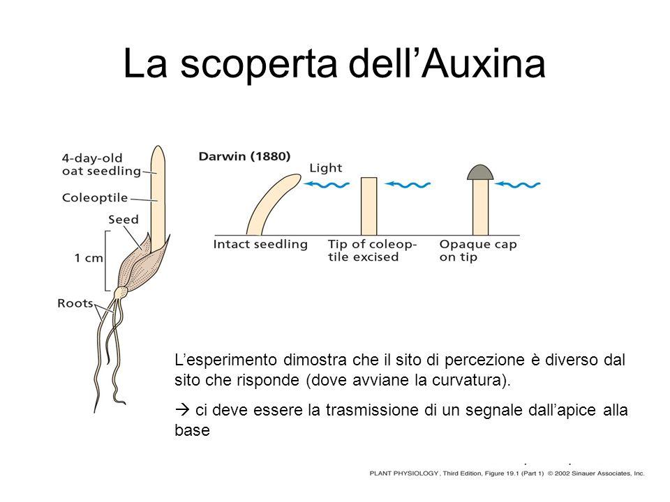 La scoperta dell'Auxina