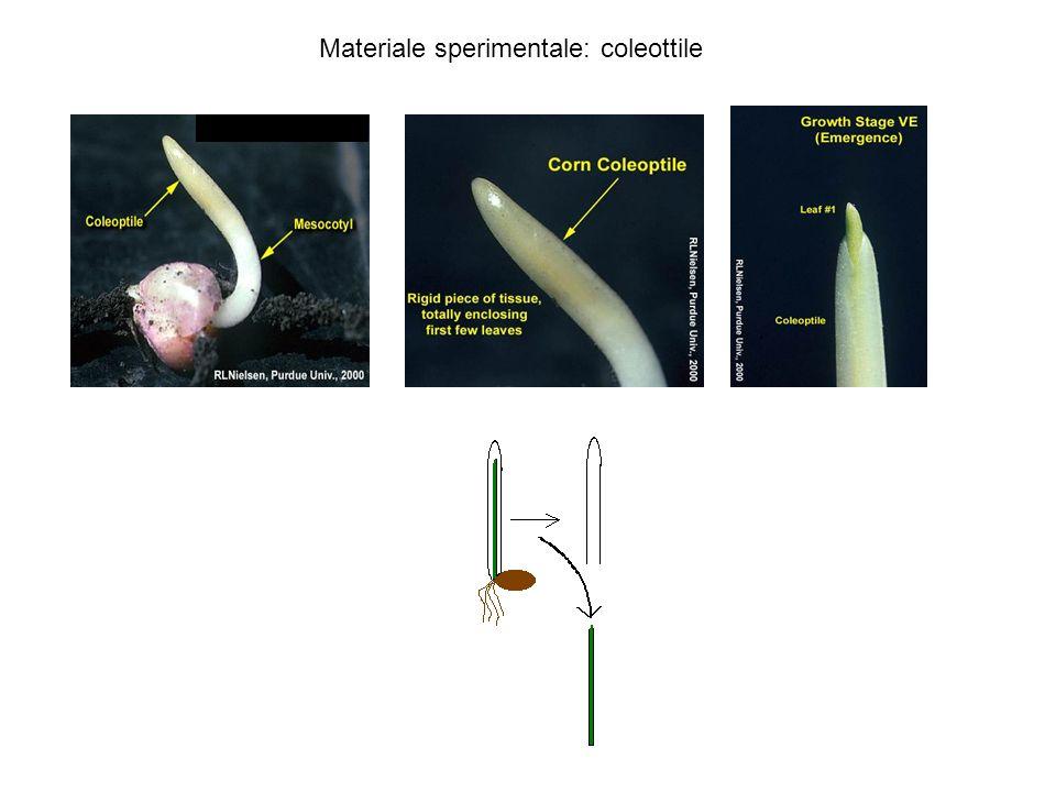 Materiale sperimentale: coleottile
