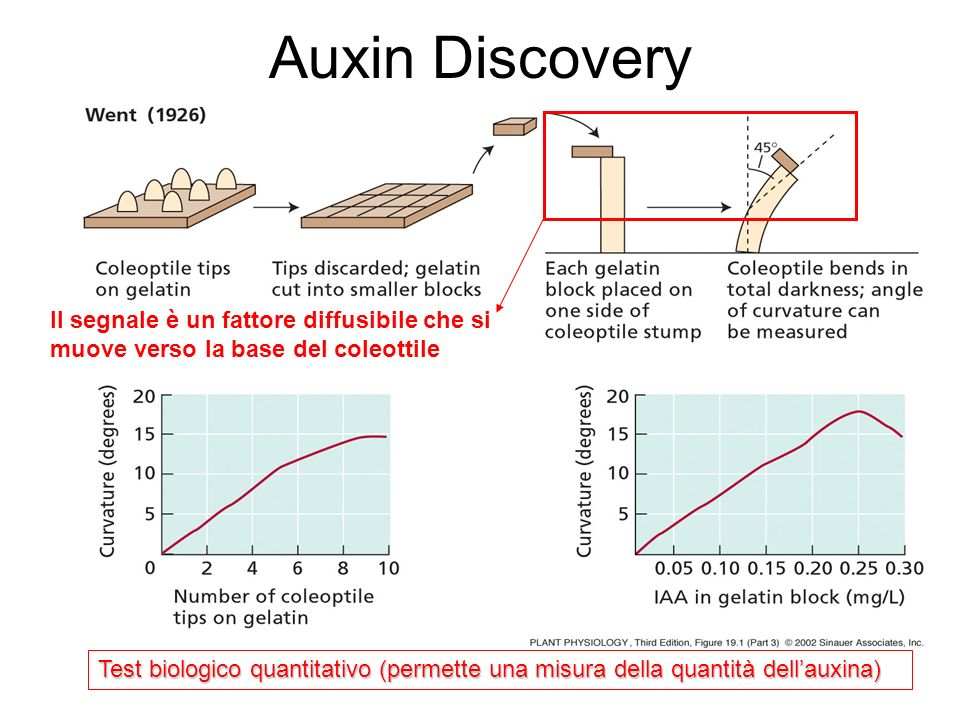 Auxin Discovery Il segnale è un fattore diffusibile che si muove verso la base del coleottile.