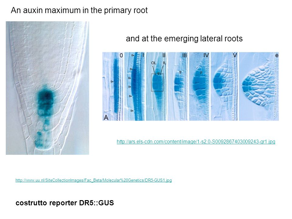 An auxin maximum in the primary root
