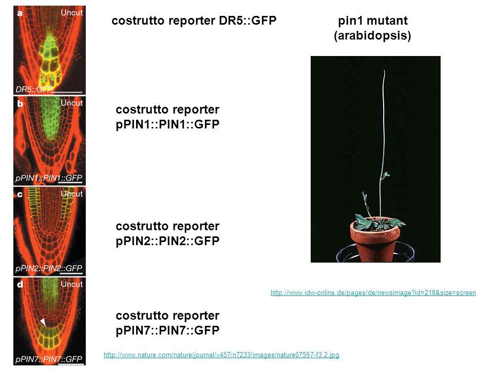 pin1 mutant (arabidopsis)