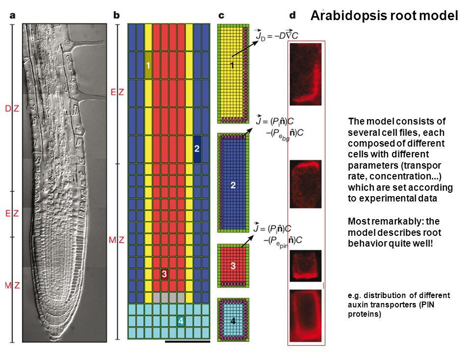 Arabidopsis root model