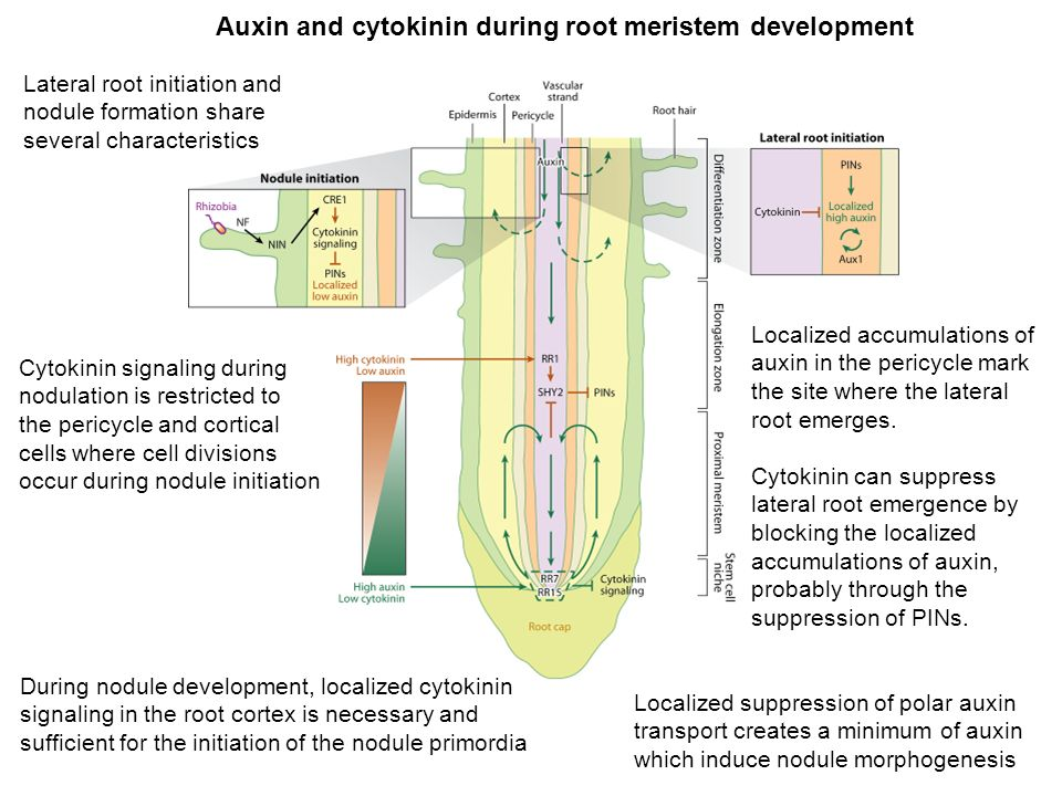 Auxin and cytokinin during root meristem development