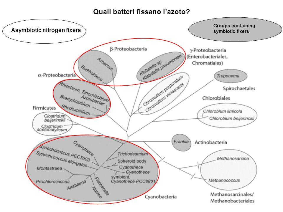 Quali batteri fissano l'azoto