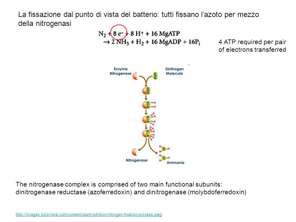 La fissazione dal punto di vista del batterio: tutti fissano l'azoto per mezzo della nitrogenasi
