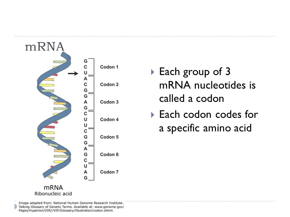mRNA Each group of 3 mRNA nucleotides is called a codon