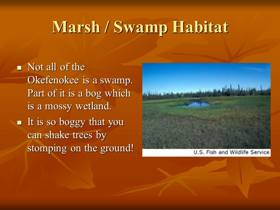 Marsh / Swamp Habitat Not all of the Okefenokee is a swamp. Part of it is a bog which is a mossy wetland.