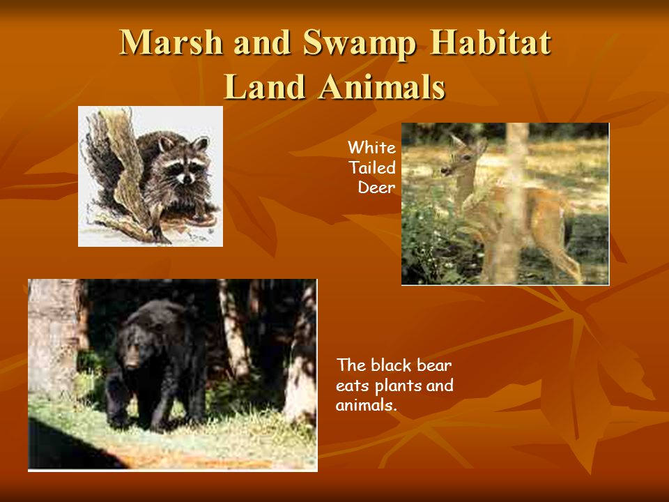 Marsh and Swamp Habitat Land Animals