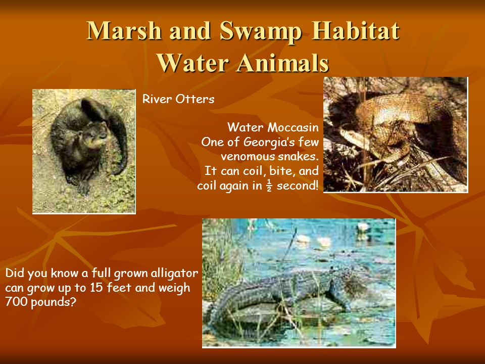 Marsh and Swamp Habitat Water Animals