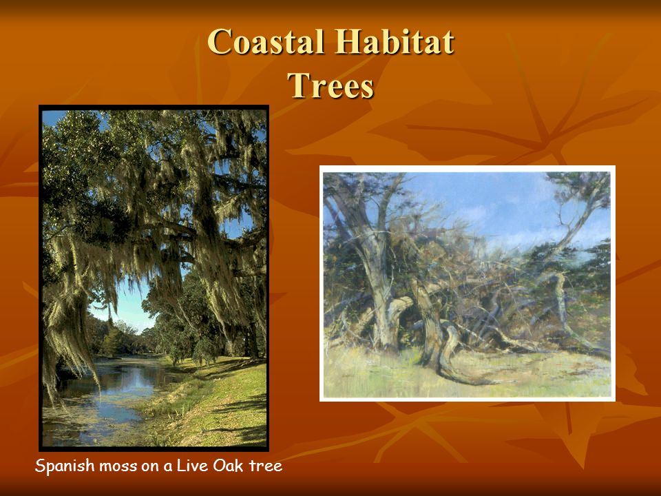 Coastal Habitat Trees Spanish moss on a Live Oak tree