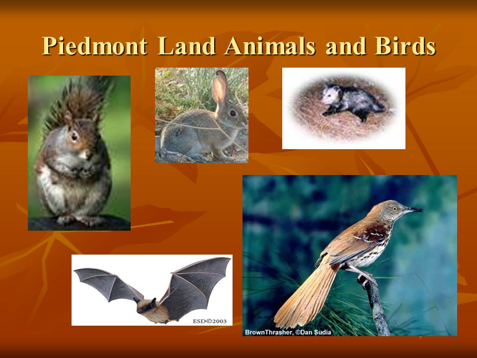 Piedmont Land Animals and Birds
