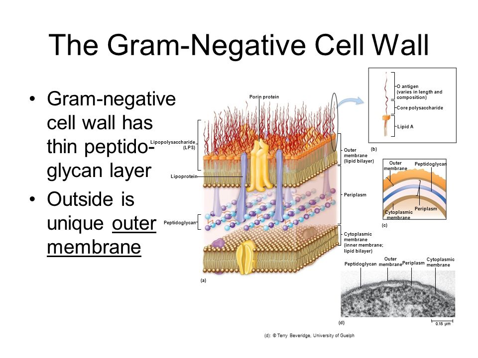gram negative Widal test- introduction, principle, procedure, glycolysis- 10 steps explained steps by steps with diagram different size, shape and arrangement of bacterial cells.