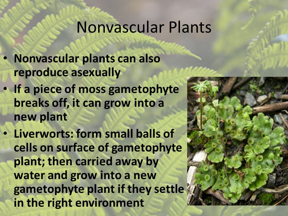 Nonvascular Plants Nonvascular plants can also reproduce asexually