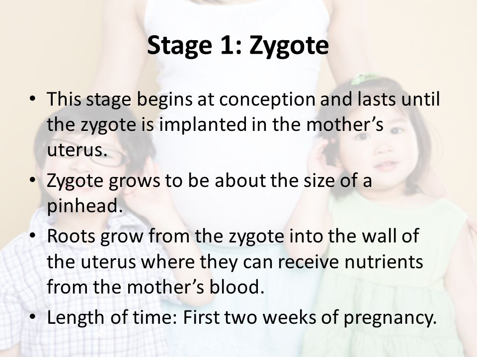 Stage 1: Zygote This stage begins at conception and lasts until the zygote is implanted in the mother's uterus.