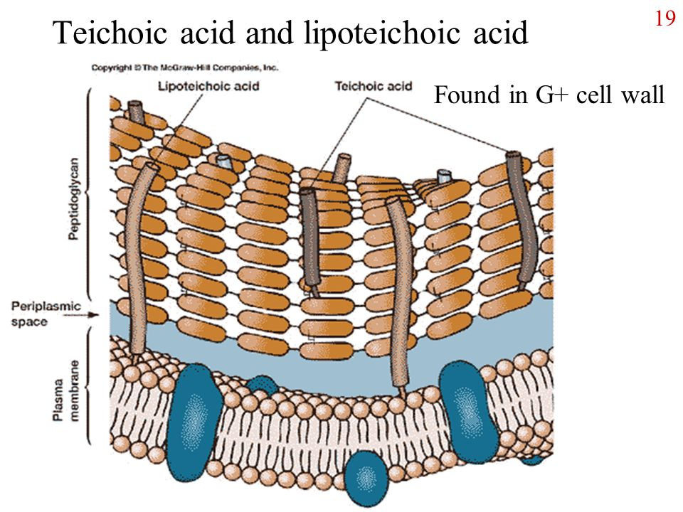 Life and Cells What is Life? - ppt video online download  Lipoteichoic Acid