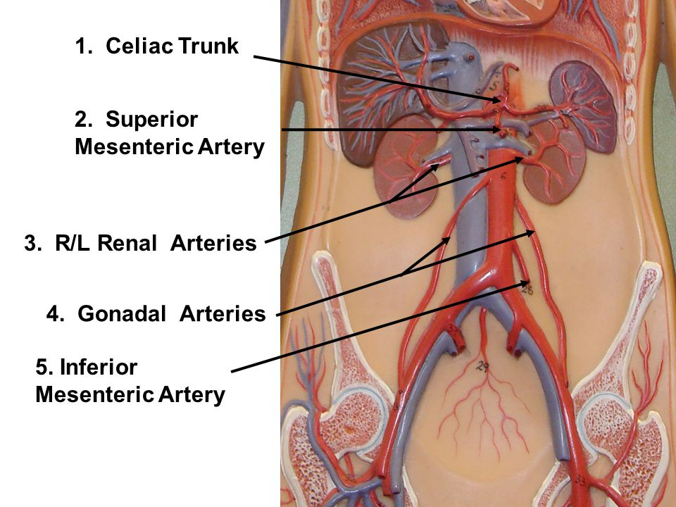 celiac artery – localprivate, Human Body