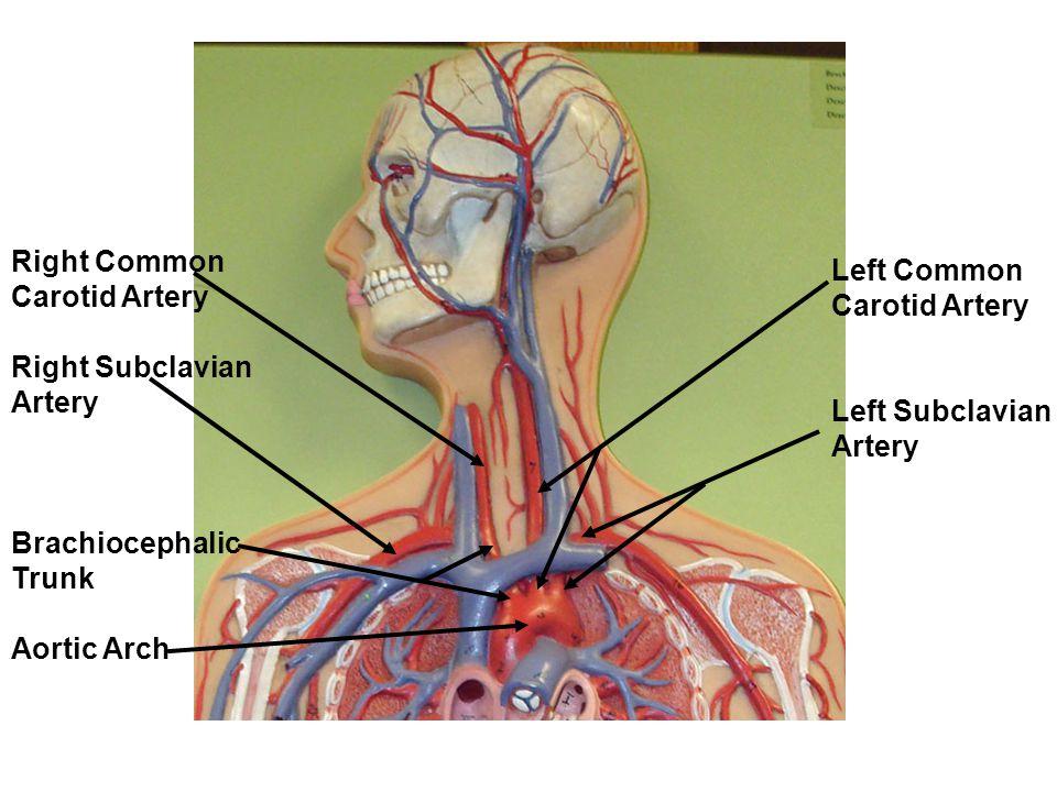Brachiocephalic Artery – cultua.info