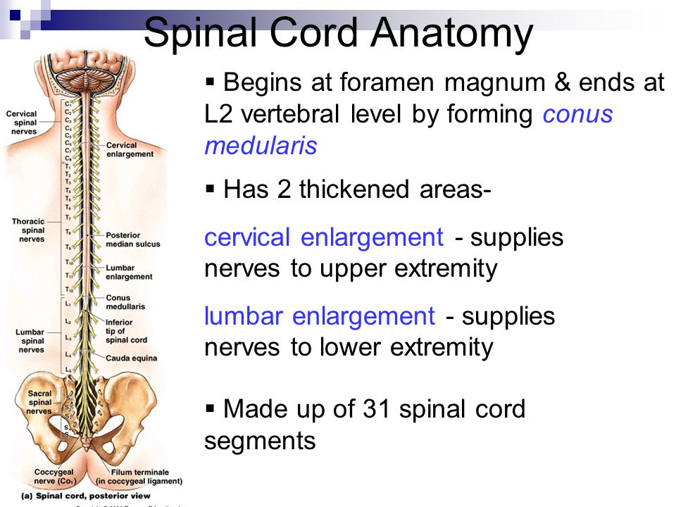 Spinal cord picture anatomy