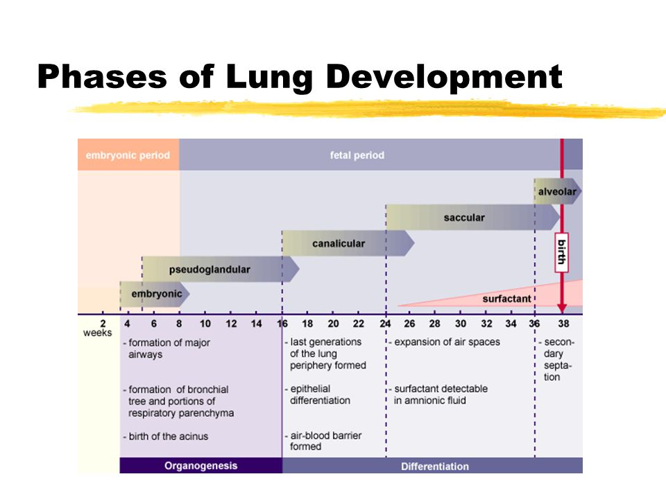 Phases of Lung Development