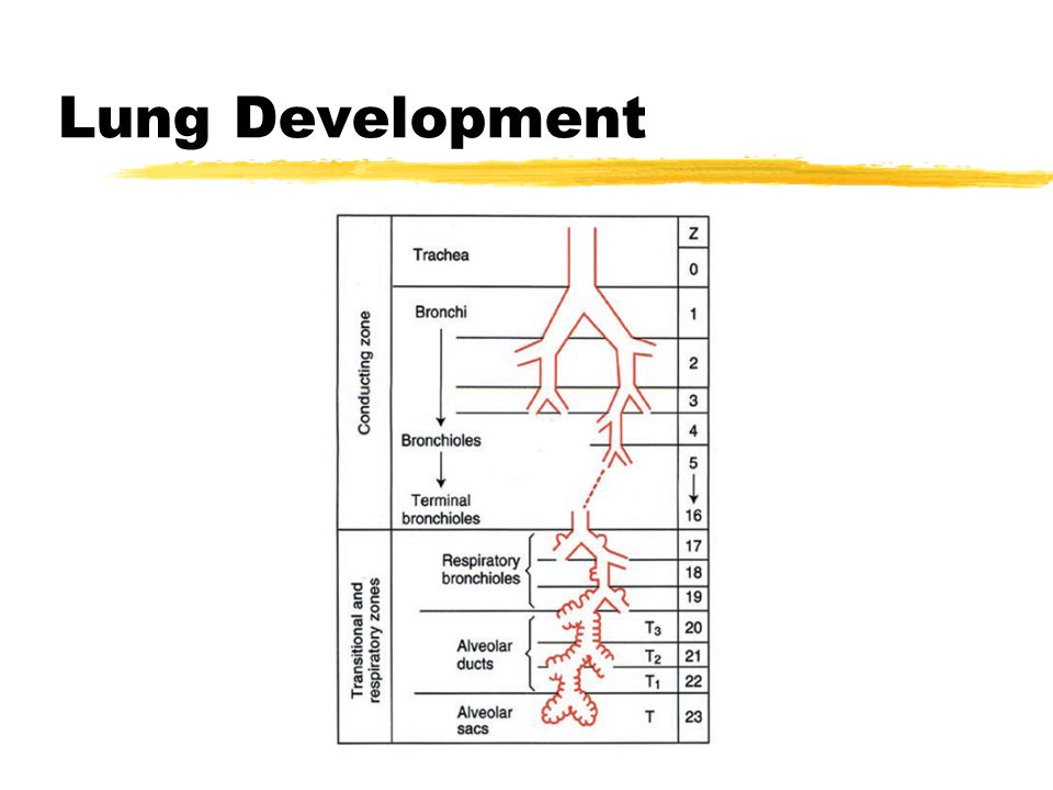 Lung Development