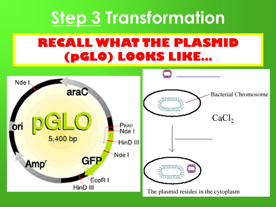 plasmid transformation lab report pglo Green fluorescent protein ii: bacterial transformation lab, and wash your hands +pglo -pglo transformation solution-pglo plasmid dna rack ice.