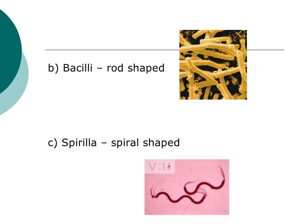 b) Bacilli – rod shaped c) Spirilla – spiral shaped