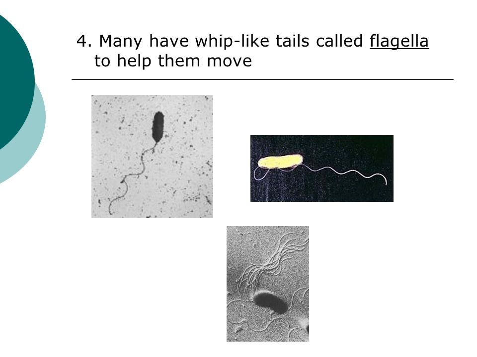 4. Many have whip-like tails called flagella to help them move