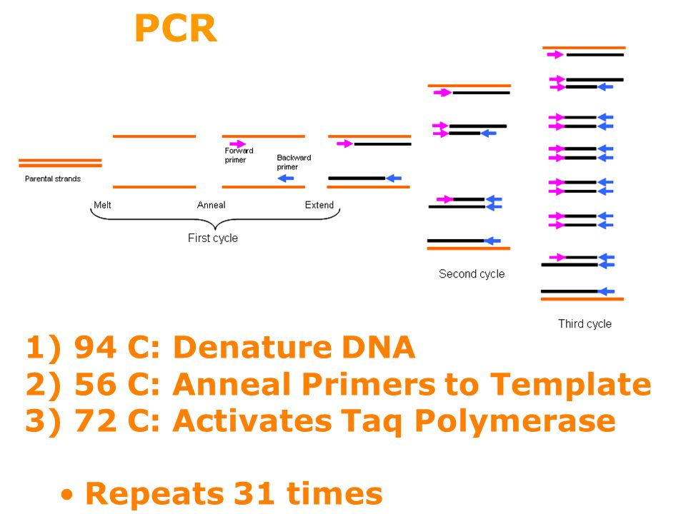 Making dna molecules chapter ppt video online download pcr 94 c denature dna 56 c anneal primers to template pronofoot35fo Image collections