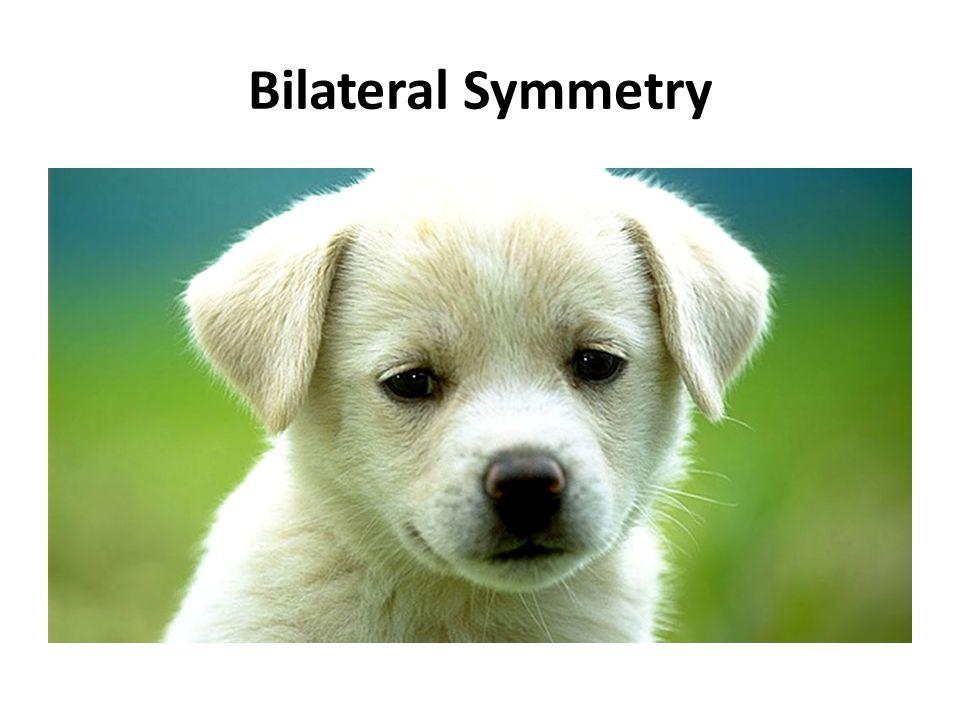 animal symmetry transitioning from vertebrates to