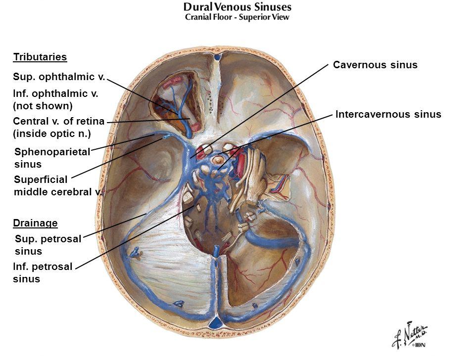 Sinus drainage anatomy