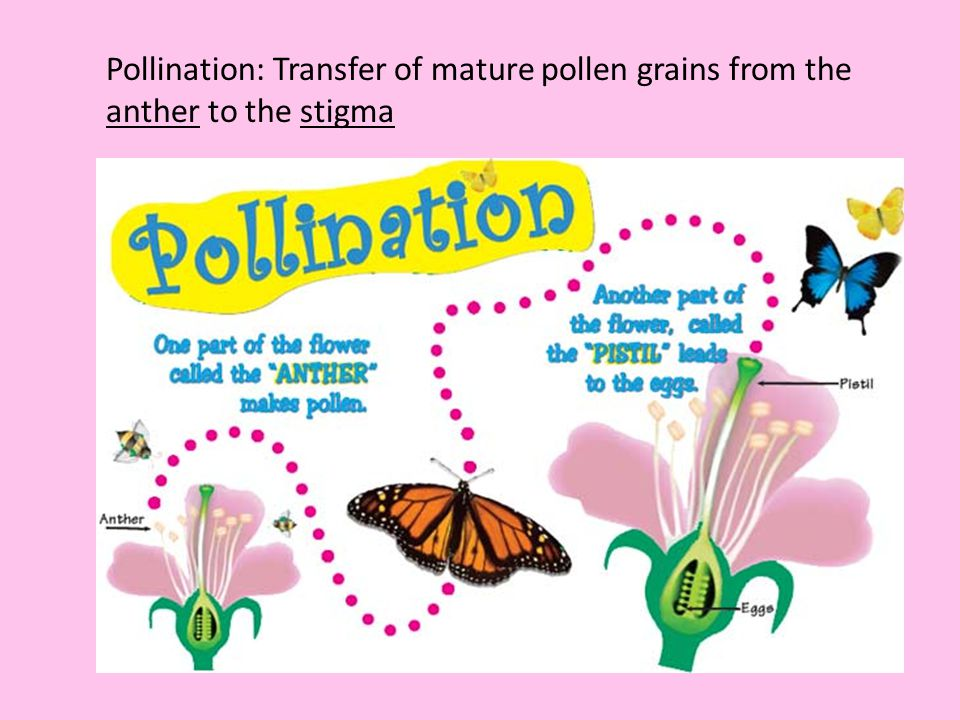 Pollination: Transfer of mature pollen grains from the anther to the stigma