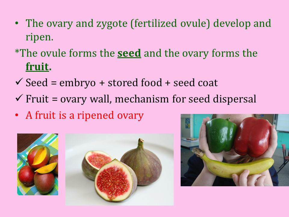The ovary and zygote (fertilized ovule) develop and ripen.