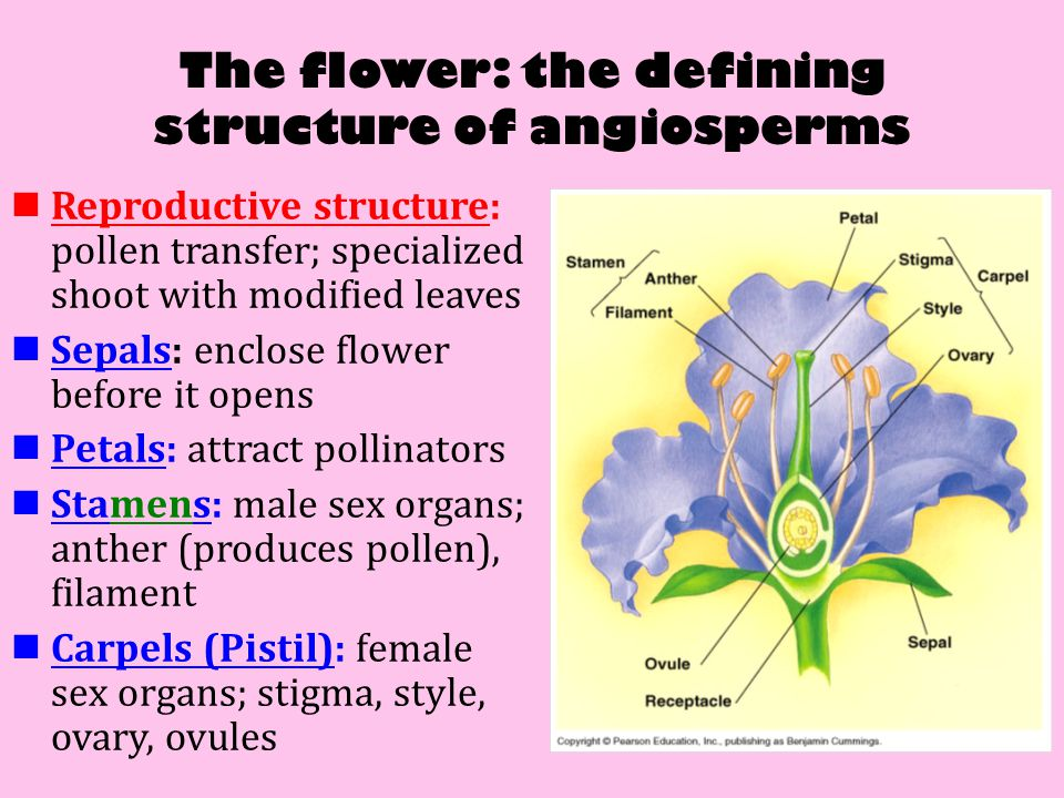 Fantastic Anatomy Of Angiosperms Model - Anatomy And Physiology ...