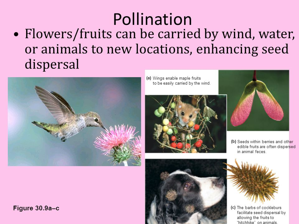Pollination Flowers/fruits can be carried by wind, water, or animals to new locations, enhancing seed dispersal.