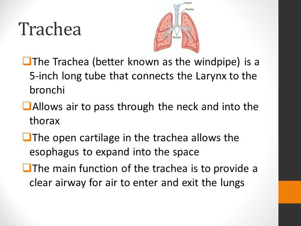 Ungewöhnlich Trachea Funktion Fotos - Menschliche Anatomie Bilder ...