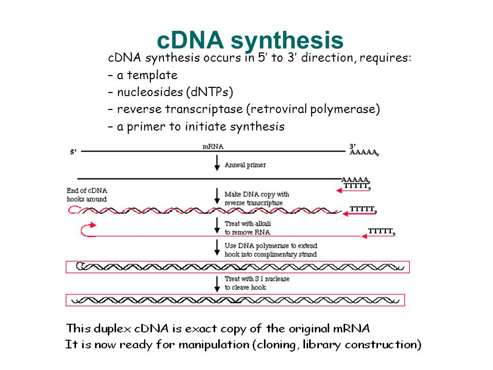 cdna sythesis Choose from a range of reverse transcriptases and rt-pcr kits for reverse transcription of full-length cdna from your experimental sample, including goscript™ reverse transcriptase, which uses m-mlv reverse transcriptase and state-of-the-art buffer to drive robust, reliable cdna synthesis of a full range of rare and abundant transcripts.