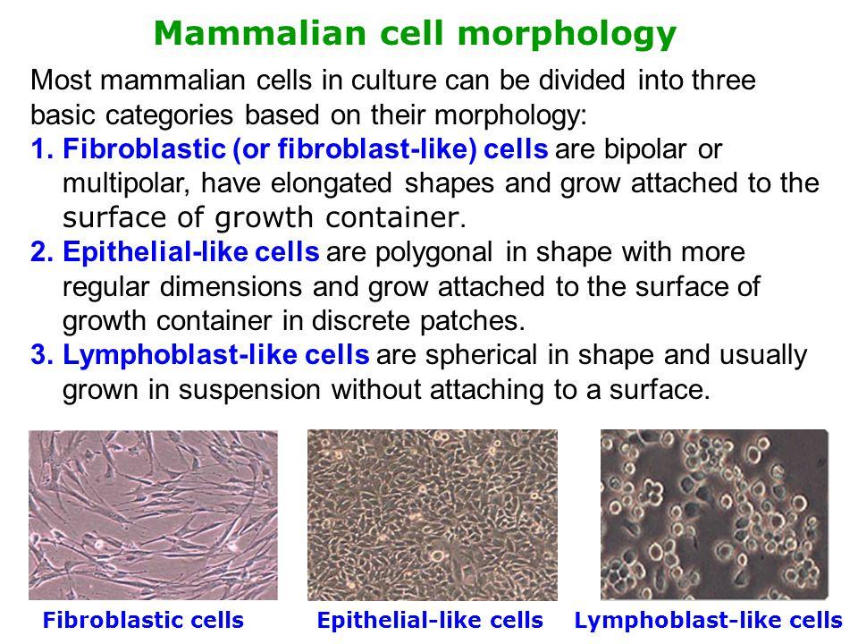 Mammalian cell morphology